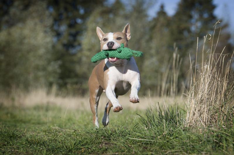 Hundespielzeug Kalli Krokodil